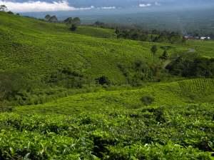 Pagar Alam. Kebun teh di Gunung Dempo.